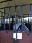 Herrmann Lipizzan Stallions 1