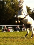 A Few More Lipizzaner pictures